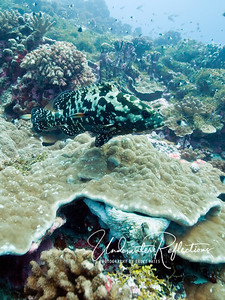 A grouper above coral, underneath which is a (whitish) octopus.