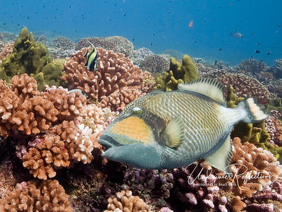 The Titan Triggerfish (2 Ft) can be dangerous to divers if it is near its nest (which this one was not).  It is always a good idea to assess this fish's temperament (e.g., jittery or calm) before approaching, as his coral-crushing teeth can extract a good chunk of flesh if he is protecting his young.