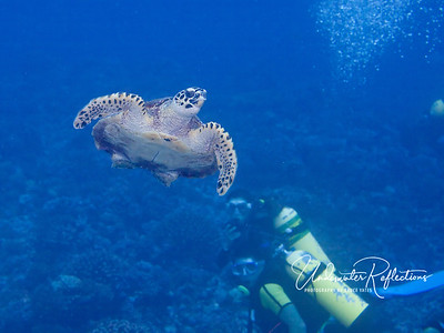 A hawksbill turtle heads for the surface for a breath of air.