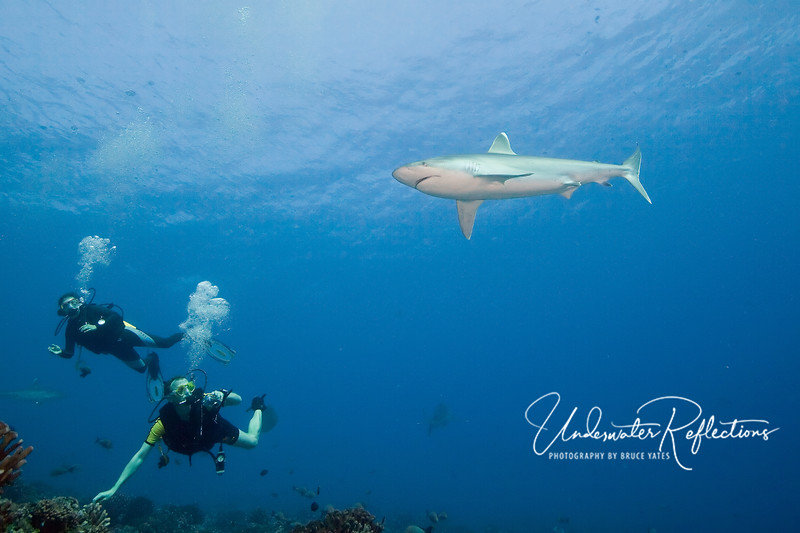 A silvertip shark (6-8 ft) swims by as Frank and Claudia (from Germany) watch.