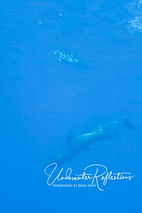 A different pair of wild Bottlenose dolphins swam by us with a baby (above, near the surface).  Stephanie, our dive guide, said this was the first baby dolphin she had seen in all of her five years as a dive guide on Rangiroa, and was very excited that I got this photo (even as faint as it is from far away) to document it for a friend of hers who is doing research on the native dolphin population of Rangiroa!