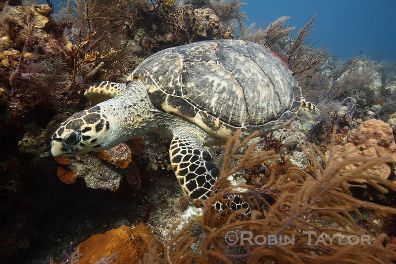 Hawksbill turtle up close.  ID is based on the arrangement of the plates at the front of the shell and top of the head.