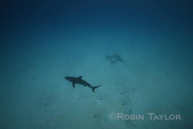 A solitary Caribbean Reef Shark glides over the sand.