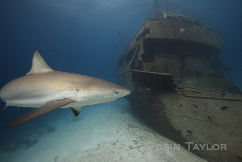 This shark was playing chicken with me!  Having cruised half the length of the wreck straight towards me, it was only at the last second that she broke off, and I took this photo.  The shark is probably only 3 ft from the front of my camera.