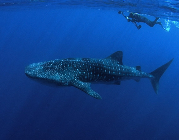 Whale Shark off the Kona Coast of the Big Island<br /> Male between 20 and 25 feet in length<br /> The snorkler is Dave Kearnes