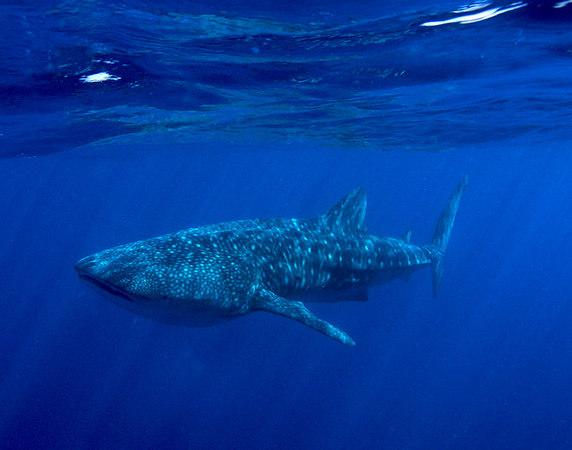 Whale Shark off the Kona Coast of the Big Island