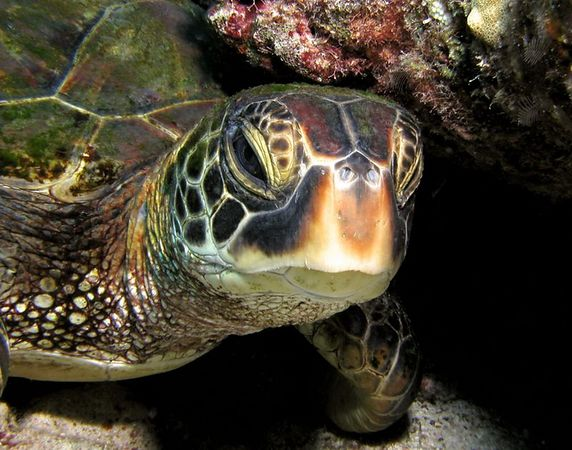 Green Sea Turtle<br /> Kona Coast of the Big Island