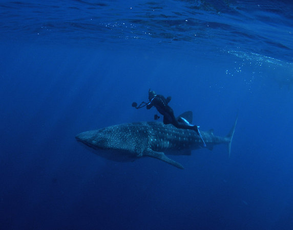 Whale Shark off the Kona Coast of the Big Island<br /> Dave Kearnes is the diver with the camera