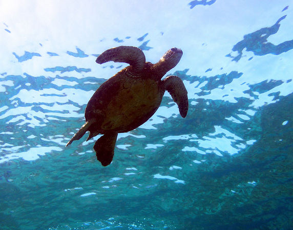 Green Sea Turtle<br /> Hawaiian name Honu<br /> Kona Coast of the Big Island