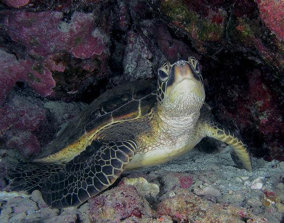 Green Sea Turtle<br /> Kona Coast of the Big Island