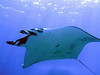 Manta Ray <br /> Since I was the first to spot this gal, I was able to name her.  She is named after my daughter Jennifer.