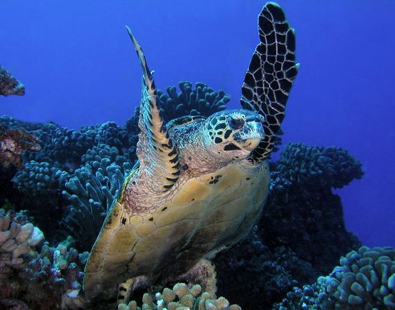 Hawksbill Turtle<br /> Kona Coast of the Big Island