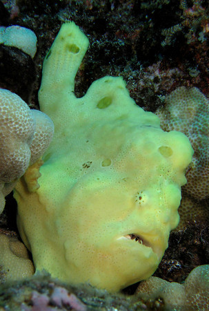 Comerson's Frogfish