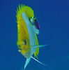 Pyramid Butterfly & Cleaner Wrasse