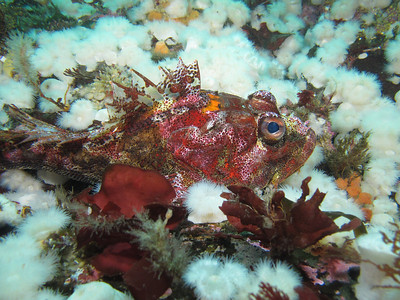 """IMG_5018 - - Biggest red Irish Lord I've ever seen amid """"clouds"""" of short plumose anemones."""
