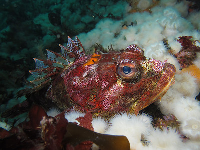 """IMG_5016 - Biggest red Irish Lord I've ever seen amid """"clouds"""" of short plumose anemones."""