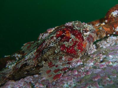 SEA&SEA 1200HD - Red Irish lord beside anchor chain.