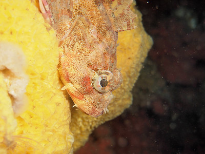P9012777 - Red Irish lord lounging on bread crumb sponge. For a TMD blog on this species see http://themarinedetective.com/2011/07/10/in-the-eye-of-the-lord-the-red-irish-lord-that-is/