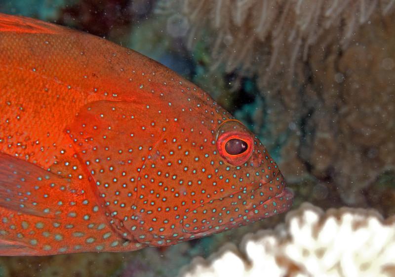 Coral hind (Cephalopholis miniata).