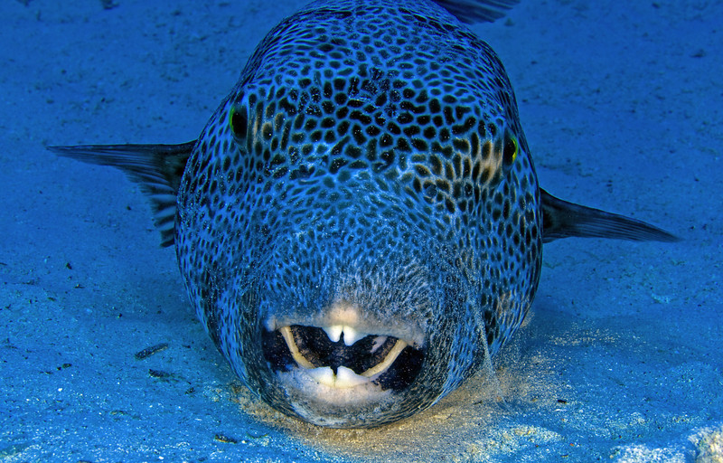 Giant puffer.