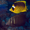 Striped butterflyfish and Red Sea sailfin tang.