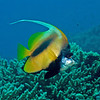 Red Sea bannerfish.