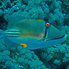 Picasso triggerfish.