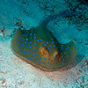 Blue-spotted stingray.