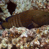 Peacock grouper (Cephalopholis argus)..