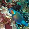 Parrotfish munching on coral.