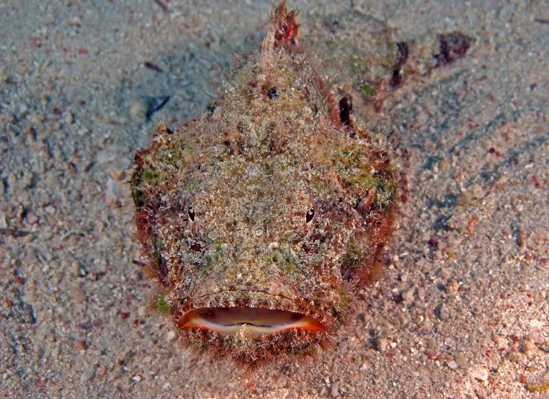 Bearded scorpionfish.