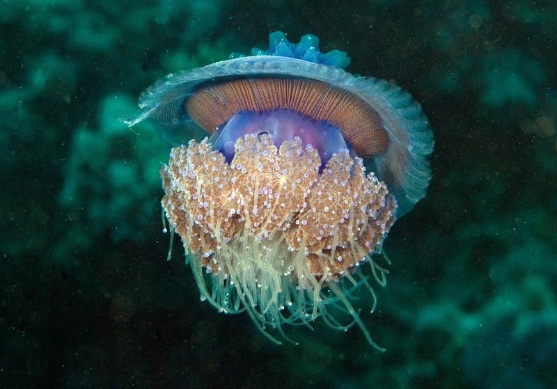 Crown jellyfish.