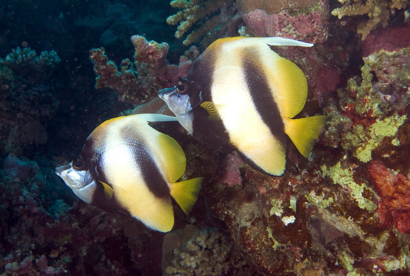 Red Sea bannerfish.