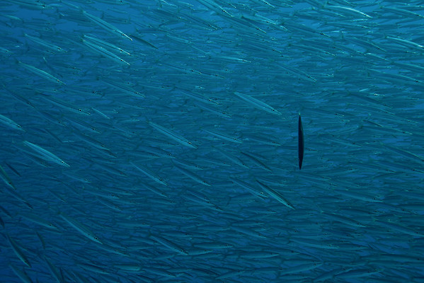 A shoal of Barracuda. I have no idea what this one Barracuda is doing and/or why...