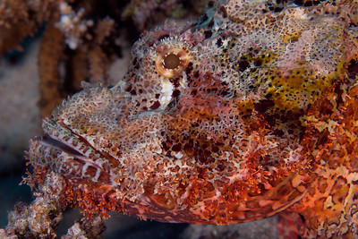 The scorpionfish can change its color to match its surroundings. Here in between red coral.