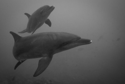 A pod of dolphins around the SS. Thistlegorm.