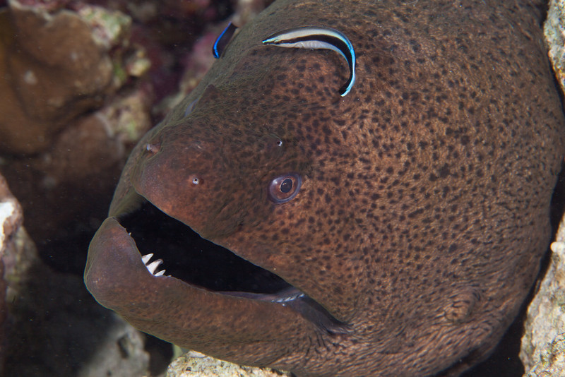 Wrasses cleaning a Giant moray.