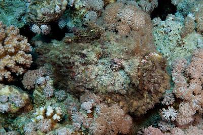 Hairy stonefish.