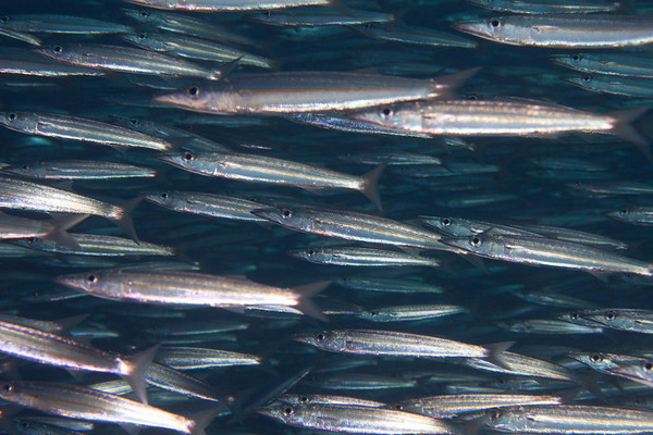 A shoal of Barracuda.