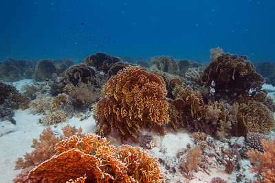 Forest of fan corals.