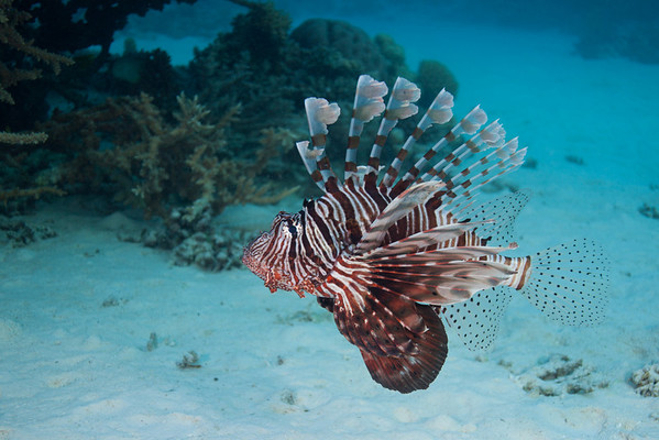 I probably have more Lionfish photos than the BBC.