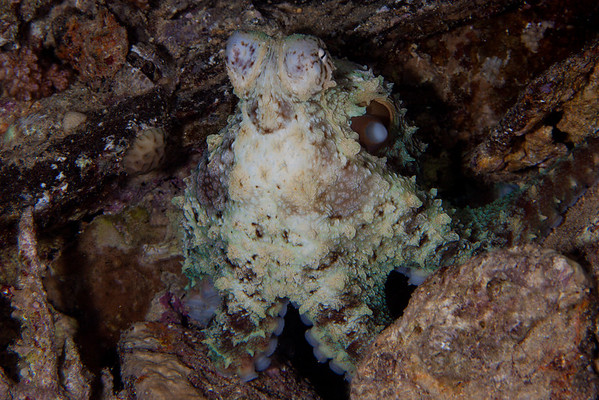 Octopus during a night dive.