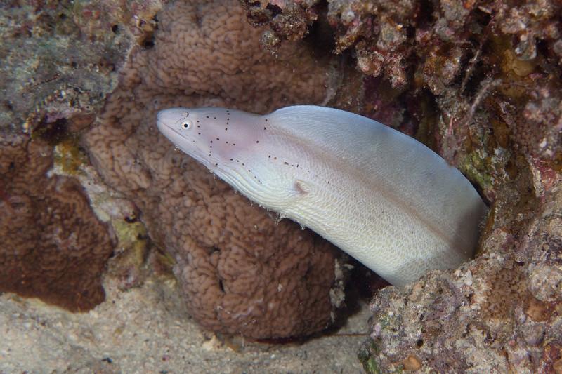 Peppered moray eel.
