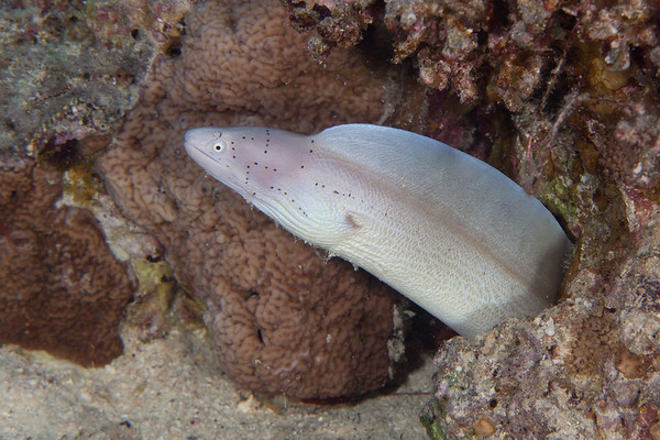 Peppered moray eel.