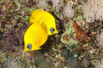 A pair of masked butterfly fish.