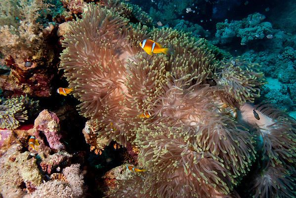 Clownfish living in a big anemone.