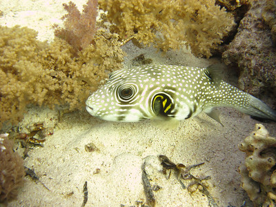 Puffer fish auditioning for a Japanese anime cartoon