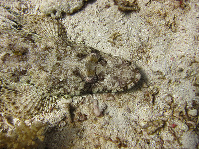 Another crocodile fish