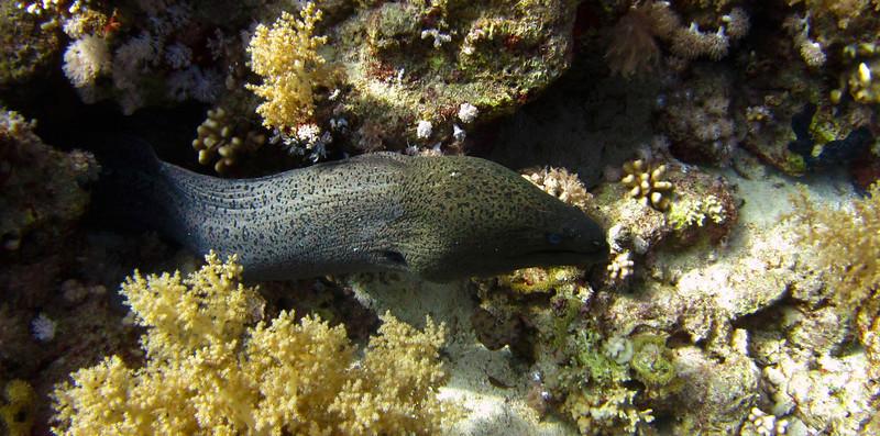 Moray eel at shark & yolanda