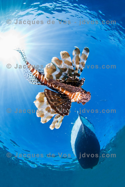 Glide...<br /> <br /> A Lionfish passing underneath a fishing boat in Dahab Egypt.<br /> <br /> Ikelite 50D Housing (8'' Dome Port)<br /> Ikelite DS-160 Strobes